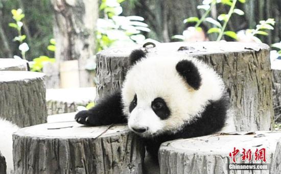 系国家二级保护动物,以竹子为食